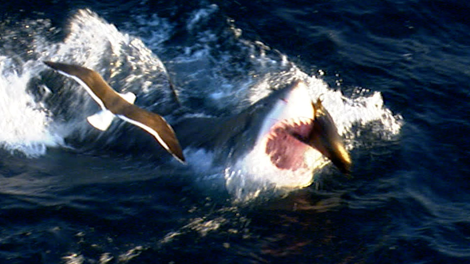 Great white shark attacks fur seal – Shark: Episode 1 ...
